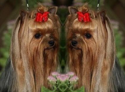 Yorkshire terrier welpen in berlin